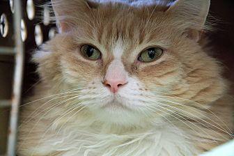 Domestic Longhair Cat for adoption in St. Louis, Missouri - Sunshine