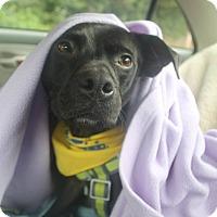 Adopt A Pet :: Poppy - Portland, OR
