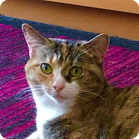 Calico Cat for adoption in Brooklyn, New York - Perfect Pepsi!