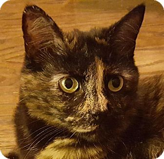 Domestic Shorthair Cat for adoption in Winston-Salem, North Carolina - Yonah