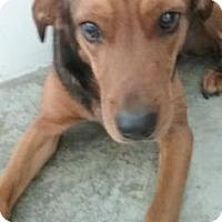 Adopt A Pet :: Lobo - Paducah, KY