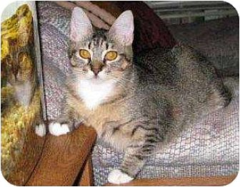 Domestic Shorthair Cat for adoption in Schertz, Texas - Clarissa KB