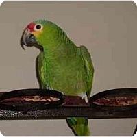 Adopt A Pet :: Zoodle - Salt Lake City, UT