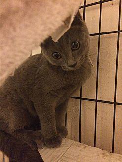 Russian Blue Kitten for adoption in Sunny Isles Beach, Florida - Deja