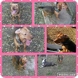 Labrador Retriever/Beagle Mix Dog for adoption in Cranston, Rhode Island - Fenway