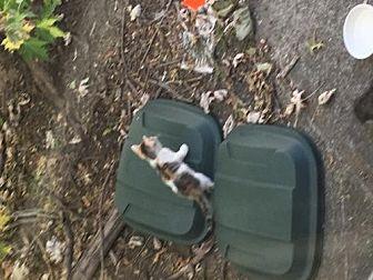 Domestic Shorthair Kitten for adoption in Trexlertown, Pennsylvania - Stray cat and 6 kittens*