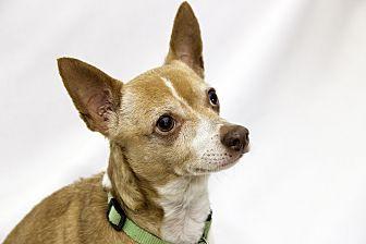 Chihuahua/Corgi Mix Dog for adoption in Cumberland, Maryland - Phineas