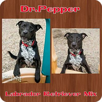 Labrador Retriever Mix Dog for adoption in Harrisburg, North Carolina - Dr. Pepper