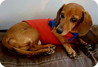 Dachshund Mix Dog for adoption in Andalusia, Pennsylvania - Rusty