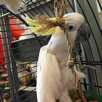 Cockatoo for adoption in Punta Gorda, Florida - BooBoo