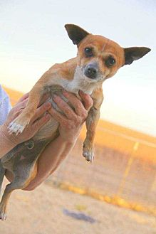 Chihuahua Mix Dog for adoption in Crosbyton, Texas - Bolt