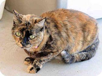 Domestic Mediumhair Cat for adoption in Sanford, Florida - SOPHIA