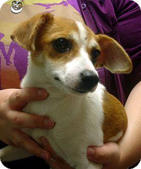 Jack Russell Terrier Mix Puppy for adoption in Greencastle, North Carolina - Journey