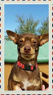 Chihuahua Dog for adoption in Maricopa, Arizona - Mario