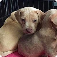 Adopt A Pet :: Oz - Miami, FL