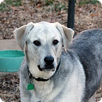 Shepherd (Unknown Type)/Great Pyrenees Mix Dog for adoption in Independence, Missouri - Nelson