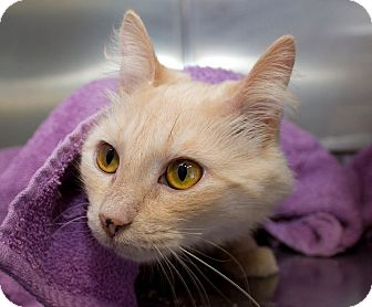 Domestic Mediumhair Cat for adoption in Schererville, Indiana - Ghost