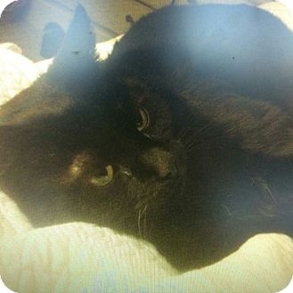 Domestic Longhair Cat for adoption in Mount Royal, New Jersey - Sasha