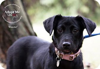 Labrador Retriever Mix Dog for adoption in New Milford, Connecticut - Roone