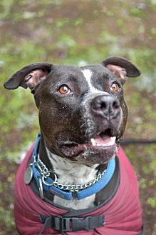 American Pit Bull Terrier Mix Dog for adoption in Eugene, Oregon - Crystal