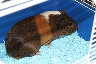 Guinea Pig for adoption in Greensboro, North Carolina - Busy Bob