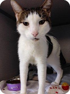Domestic Shorthair Cat for adoption in Orange, California - Max