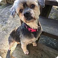 Adopt A Pet :: Duchess - Pitt Meadows, BC