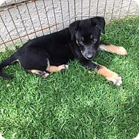 Adopt A Pet :: Gerard - Downey, CA