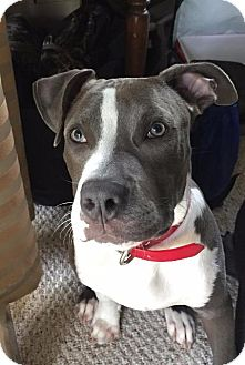 Terrier (Unknown Type, Small)/Staffordshire Bull Terrier Mix Dog for adoption in Raleigh, North Carolina - Carl
