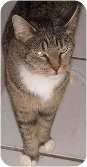 Domestic Shorthair Cat for adoption in Elkton, Maryland - Addison