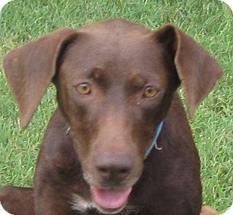 Labrador Retriever/Hound (Unknown Type) Mix Dog for adoption in Lincolnton, North Carolina - Cookie
