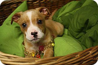 Boxer Mix Puppy for adoption in Homewood, Alabama - Francesca