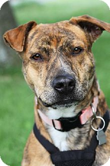 American Pit Bull Terrier/Pointer Mix Dog for adoption in Brownsburg, Indiana - Lilly