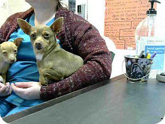 Chihuahua Mix Dog for adoption in Lufkin, Texas - Dumplin
