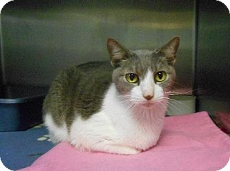 Domestic Shorthair Cat for adoption in Hilton Head, South Carolina - Bloom