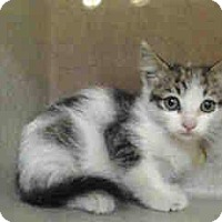 Adopt A Pet :: Venus - Alhambra, CA