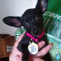 Chihuahua Mix Puppy for adoption in Scottsdale, Arizona - Edi