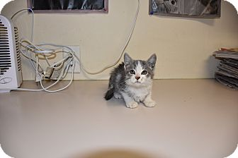 Domestic Shorthair Kitten for adoption in North Judson, Indiana - Oz