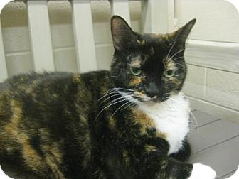 Domestic Shorthair Cat for adoption in Hamilton, Ontario - Shyla