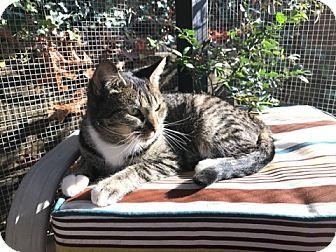 Domestic Shorthair Cat for adoption in Sharon Center, Ohio - Nina