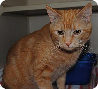 Domestic Shorthair Cat for adoption in Ridgeland, South Carolina - Taco
