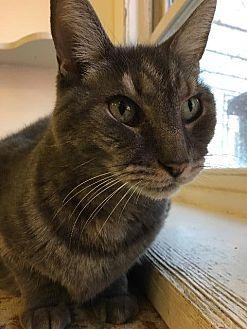 Domestic Shorthair Cat for adoption in Bourbonnais, Illinois - Riley