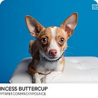 Adopt A Pet :: Princess Buttercup - Ogden, UT