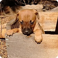 Adopt A Pet :: Suzie - Westminster, CO