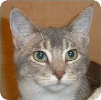 Domestic Shorthair Cat for adoption in Las Vegas, Nevada - Dee Dee