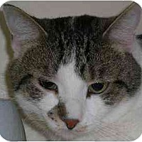 Adopt A Pet :: Young Tom Sawyer - Lombard, IL