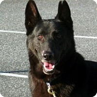Adopt A Pet :: Noble gentle Lancelot - Baltimore, MD
