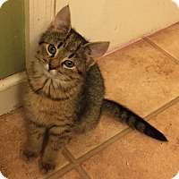 Adopt A Pet :: Morgana (Fluffy's Kittens) - Medford, NJ