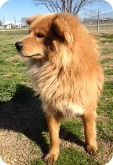 Chow Chow Dog for adoption in Quinlan, Texas - R.C.