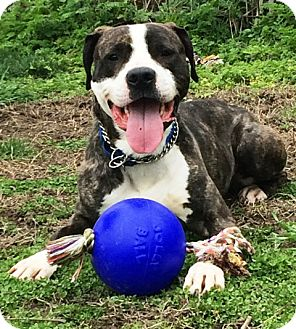 Boxer Mix Dog for adoption in Tipp City, Ohio - Blue - adoption pending